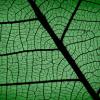 aldersprig: a close up of an alder leaf (Leaf)